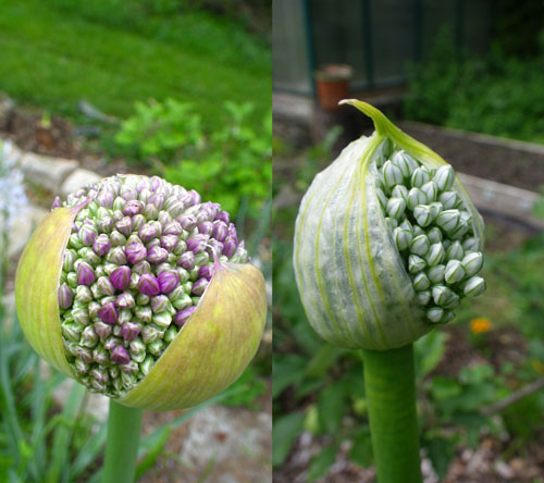 color_crazy_allium